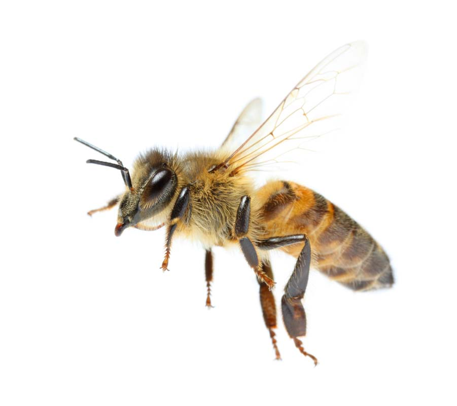 Fun Facts Friday - Honey Bees